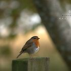 """"""" Robin In The Winter Sunlight """" by Richard Couchman"""