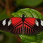 Postman Butterfly by JMChown
