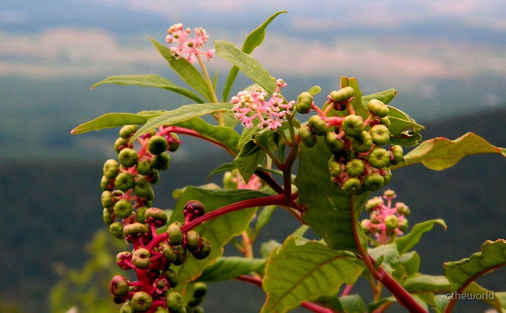 Mountainberries by ctheworld
