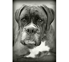 Is That For Me?.... Boxer Dogs Series  Photographic Print
