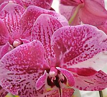 Glorious Orchids by helenclare