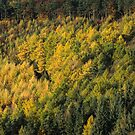 Autumn Larches by James Grant