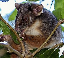 Ringtail in the mulberry tree by Doug Cliff
