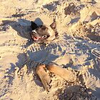 Belgian Malinois in the sand by Belgian Shepherd Dog Club of QLD Inc