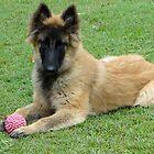 Belgian Tervueren puppy by Belgian Shepherd Dog Club of QLD Inc