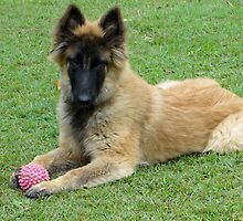 Belgian Tervueren puppy by Belgian Shepherd Dog Club of QLD Inc