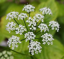 Greater Water Parsnip by AnnDixon