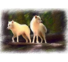 white wolves Photographic Print