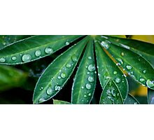 Leaves with water droplets on  Photographic Print
