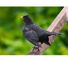 Black Bird Photographic Print