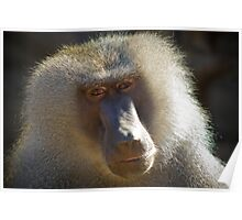 african mandrill Poster