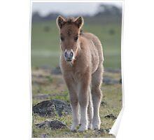 Dun Shetland Pony Foal Poster