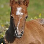 Welsh Mountain Foal  by fenwickstud