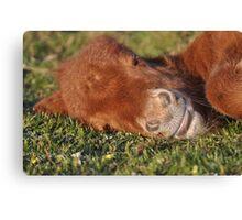 Shetland Pony Foal Sleeping Canvas Print