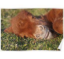 Shetland Pony Foal Sleeping Poster