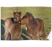 Two Shetland foals playing Poster