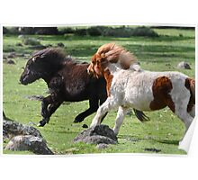 Shetland Ponies Chasing Poster