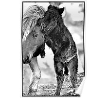 Shetland Mare and Foal in Black and White Poster