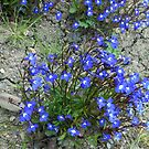 Tiny, but Powerful - Blue Lobellia by BlueMoonRose