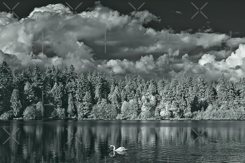 untitled - swan on lost lagoon by jackson photografix
