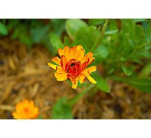 Orange Daisy Bloom Photographic Print