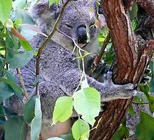Koala by Margaret  Hyde