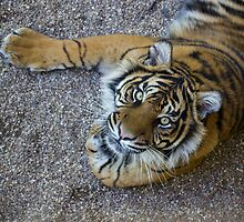 Tiger! by ensell