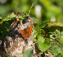 Comma Butterfly by ensell