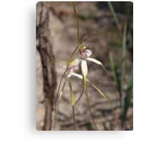 White Spider Orchid Canvas Print