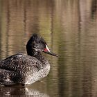 Freckled Duck by mosaicavenues