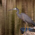 White-faced Heron 1 by mosaicavenues