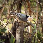 White-breasted Nuthatch by Kimberly Chadwick