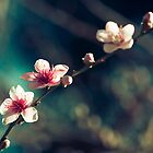 Cherry Blossoms at Araluen Botanic Park by bexish