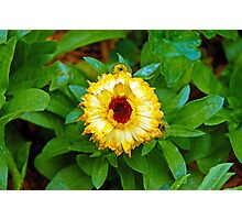 Yellow Mum Photographic Print
