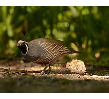 Father Following Quail Photographic Print