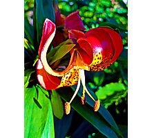 Olympia Tiger Lily Photographic Print