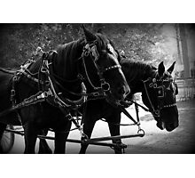 Black Percheron Draft Horse Team Photographic Print