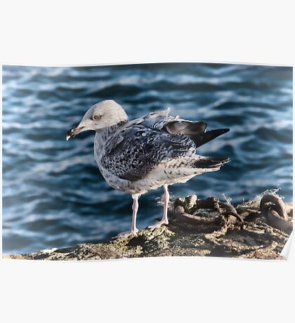 Young Herring Gull 2 Poster