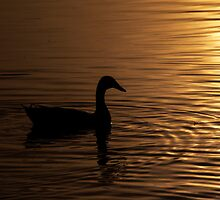 A Duck in the Autumn Sun  by skid