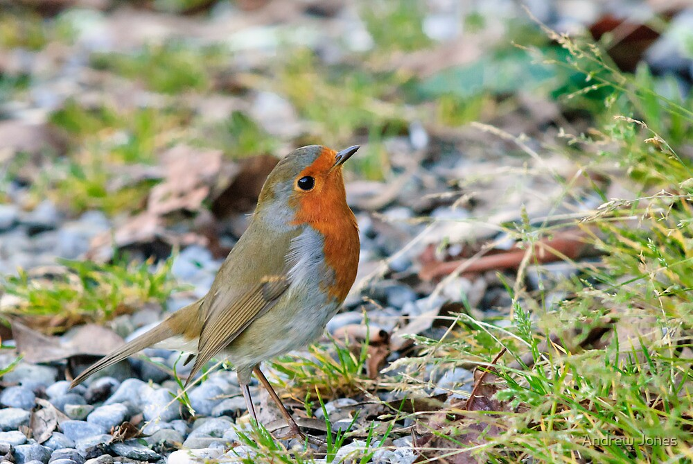 A perky little robin, County Kilkenny, Ireland by Andrew Jones