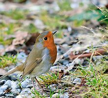 A perky little robin, County Kilkenny, Ireland by Andrew Jones