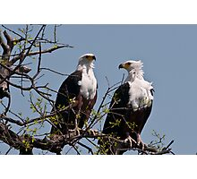 Sea Eagle Pair Photographic Print
