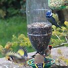 Finches at the feeder by missmoneypenny