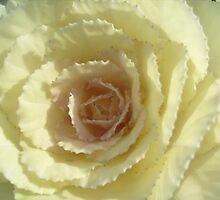White ornamental cabbage by Ana Belaj