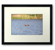 Ruddy Shelduck Framed Print
