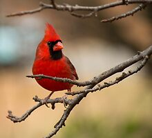 Mr. Cardinal  by Sandra L Clark