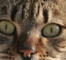 Beautiful Eyed Tabby Cat Sticker