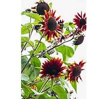 Multiple Red Sunflowers Photographic Print