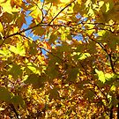 Maple Leaves by WildestArt
