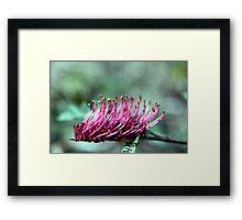 Brush Grevillea Framed Print